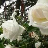 新年を赤い薔薇で・・  1/1誕生花・プリムラ・ジュリアン