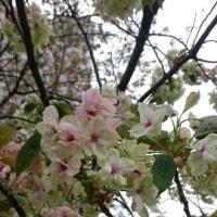 【番外】御衣黄(ぎょいこう)桜!!