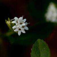 極小の花との出逢い。。。!