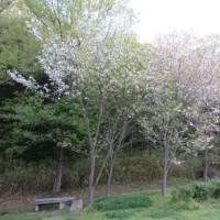 山桜、ヤマザクラ、 県立三木山森林公園