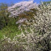 芦生 野田畑湿原の李と山桜