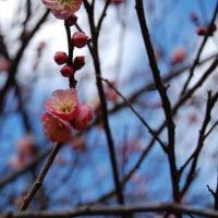 はるのはじまり、梅の香り。