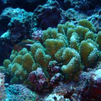 珊瑚に隠れて