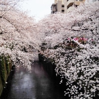 目黒川の桜 6apr2017