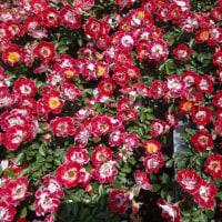 神代植物公園 「春のバラフェスタ2017」