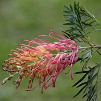 ネムの花 と グレビレア