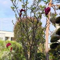 「モクレン」きれいに開花。