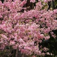 桜桃(ユスラウメ)が満開!
