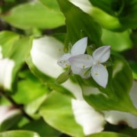トラカンの花が咲きました。