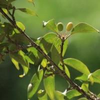 6月中旬の砧公園で(1)サンシュユ、アジサイ、ヒメシャラ、ハナツクバネウツギ、アメリカデイゴ、ネジバナ、ヒメキキョウソウ、ノカンゾウ