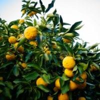 ―正月からのユズ茶作りー