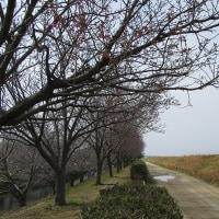 赤坂泉の桜 開花情報