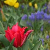 赤い百合咲きのチューリップが咲きました