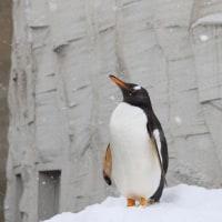 ジェンツーペンギンの伸び縮み
