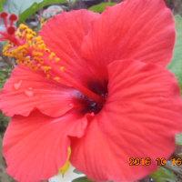 越冬ハイビスカス 2花目咲いた田舎  サンゴ樹