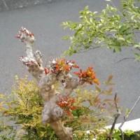 ハナミズキと百日紅の新芽が出て来ました