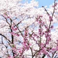 東谷山フルーツパークの枝垂桜!