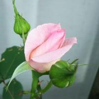 薔薇 ブライダル ピンク