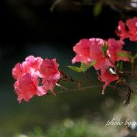 オンツツジの花 Ⅲ