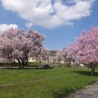 第2384回 Spring blossom in Remich