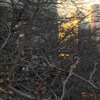 桜のつぼみ (ば)