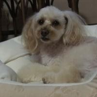 犬の全身麻酔/歯石とり