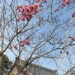 しだれ桜開花宣言🌸