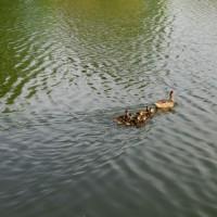 カルガモ 雛七羽と親鳥