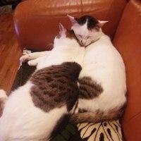 仲が良すぎる兄弟猫