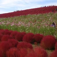 コキアの紅葉@ひたち海浜公園