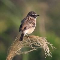 まだいた珍鳥  マミジロノビタキ