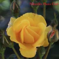 グリーンパークの薔薇 (初投稿)