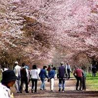 ◆北海道、新ひだか町静内の直線道路7キロで幅二十間道路桜並木が満開・・・まつり開催中。