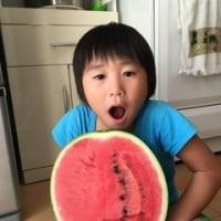 西瓜、 watermelon , の収穫