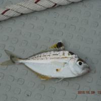 浜名湖船五目釣り   ヘダイまだ2匹居ました