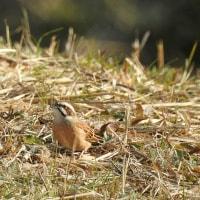 大堀川周辺の野鳥_ホオジロ(頬白)巣草を集める