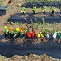 春苗の植え付け