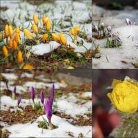 小庭の花に雪・・・