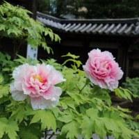 東長谷寺 薬 王 院 の 春 ぼ た ん