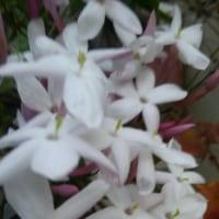 廻るもの 季節の花 ジャスミン