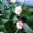 オシロイ花