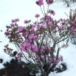 暑気払い エゾヒメギフの発生時期に積雪