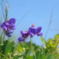 ヨコスト湿原に咲く花