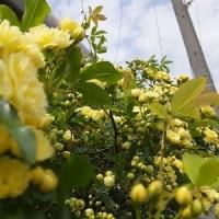 モッコウバラが咲いた日は・・♪