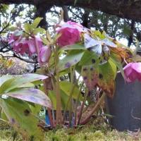 アミガサユリ・4つ咲く八重クリスマスローズ