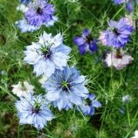 青い花、青イ花、藍の華