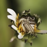 今朝の 白花タンポポ