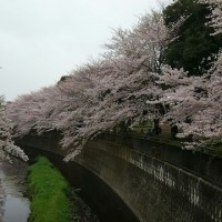 近所の桜その2