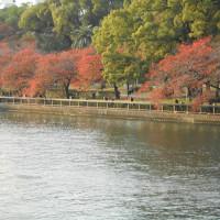 大川沿いの桜の紅葉
