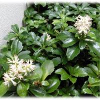 春の花木(^^♪「繁栄」をイメージする縁起の良い名前の花「フッキソウ(富貴草)」